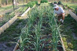 And this picture of me weeding the garlic bed shows how we're choosing to plant more densely. We're growing three rows on three drip lines in the space where we would have had two before.