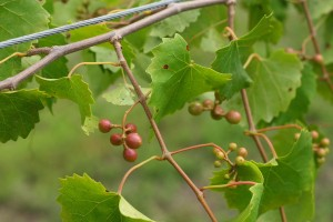 granny val muscadines for site