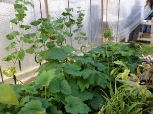 One of the events we enjoyed was a field trip to a permaculture farm in Citronelle where we saw these squash growing in January in a hoop house heated passively by the sun.