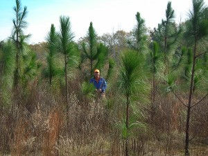 "Here's Dave standing among longleaf pines he planted five years ago. You can tell he really is a ""native grass nut."" His careful husbandry works. The longleafs we plant in the forest would be about 1/3 this size after five years."
