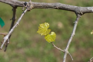 The freeze didn't knock back the muscadines at all, primarily because they always wait so late to bud. These black beauty leaves are still green and supple.