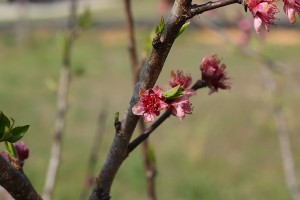 These June Gold peach blossoms don't seem at all damaged by the freeze.