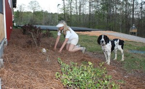 Amanda's finishing up her hands-and-knees weeding of the microclimate bed on the south wall of the barn. There's a thick layer of newspaper under that pine straw.